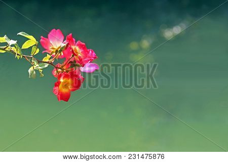 Blooming Wild Rose Branch In Front Of A Green Pond, Contemplative Background