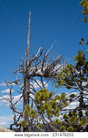 Pine Tree Growing From The Rock Atop The Grand Canyon Of Yellowstone National Park In Wyoming, Usa