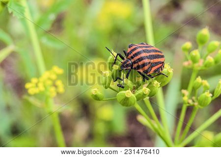 Striped Shield Bug (graphosoma Lineatum) Eating Umbelliferous Plants