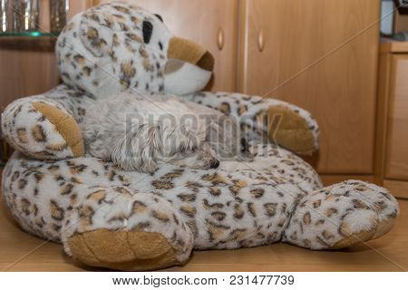 Havanese Sleeps On Stuffed Animal