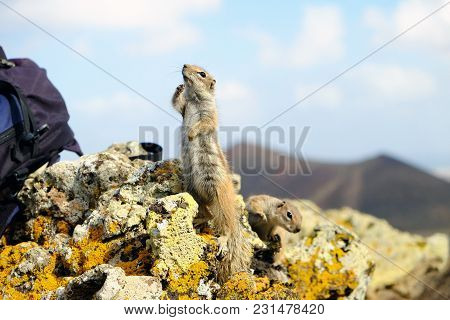 African Ground Squirrels On The Rock On The Canary Island Fuerteventura, Spain.