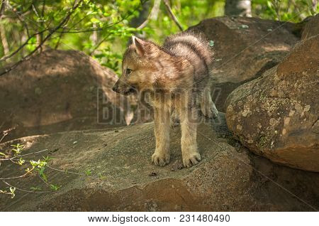 Grey Wolf (canis Lupus) Pup Looks Left From Atop Rock - Captive Animal