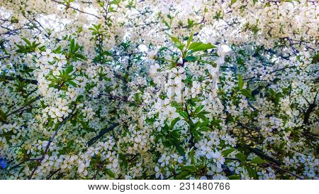 Spring Blooming Fruit Cherry Apricot Apple Tree Branches White Blossom Flowers Leaves Background. So