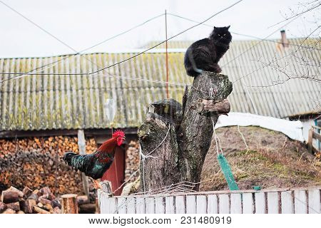 Rustic Multicolored Rooster At Fence And Cat At Stump In The Village