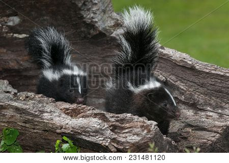 Striped Skunk (mephitis Mephitis) Kits Look Right Within Log - Captive Animals