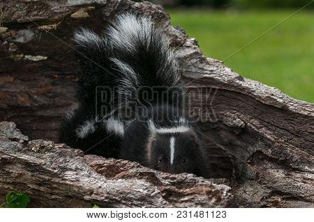 Striped Skunk Kit (mephitis Mephitis) Peeks Out - Captive Animal