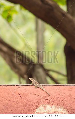 Lizard Called Agame Settlers In The Savannah Of Amboseli Park In Kenya