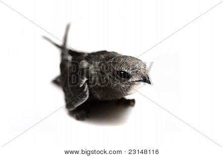 The baby bird of Common Swift on white