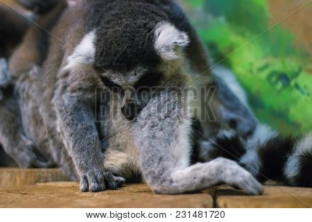 A Huddle Of Ring Tailed Lemurs Sleeping Together