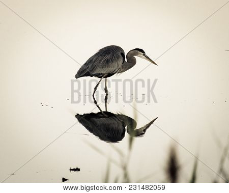 Great Blue Heron Hunting In A Marsh With Reflection