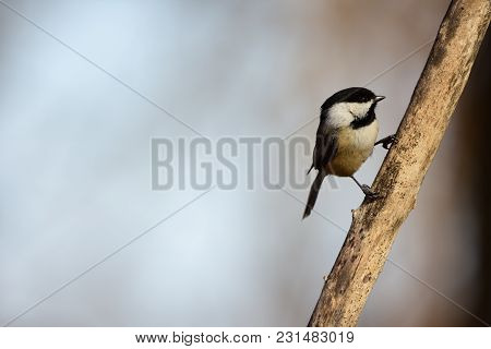 A Black-capped Chickadee Perched On The Side Of A Dead Branch With A Clean Light Sky Background.