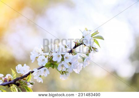 Blooming Flowers Of Orchard Fruit On A Small Village.
