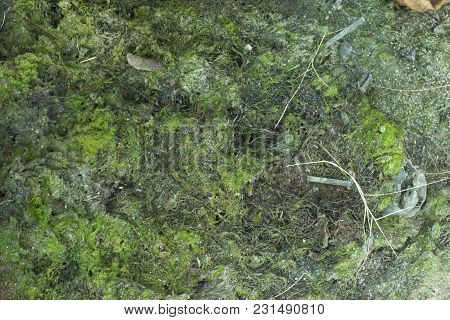 Moss Planted On The Base Of The Tree Is Dry, Due To Heat.