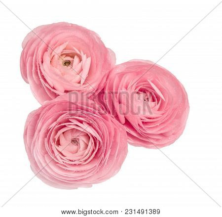 Pink Ranunculus Isolated On White Background. Flower Head