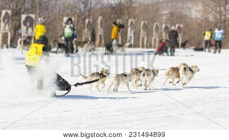 Traditional Kamchatka Dog Sledge Race Elizovsky Sprint On Kamchatka.  Kauryur Harnesses The Husky Do
