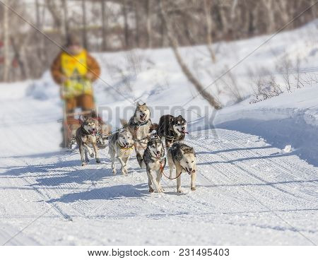 Traditional Kamchatka Dog Sledge Race Elizovsky Sprint