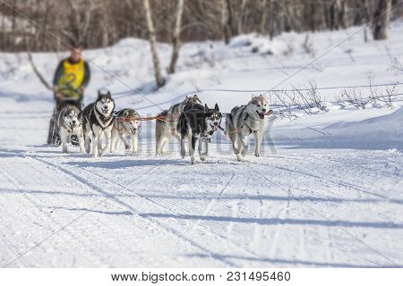 Traditional Kamchatka Dog Sledge Race Elizovsky Sprint On Kamchatka