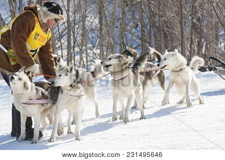 2017: Traditional Kamchatka Dog Sledge Race Elizovsky Sprint. Kayur With His Husky