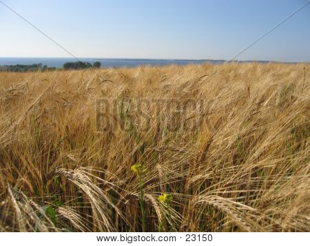 Wheat Cornfield