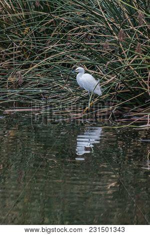 White Egret Bird Balanced On One Leg With Reflection At Estuary Shoreline.