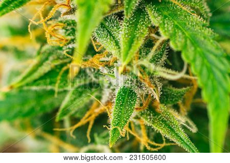 Medicinal Purposes. Concepts Legalizing Weed Beautiful Buds Before Harvest. Cannabis Grow Indoor Mac