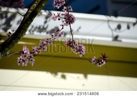 Blooming Cherry Tree Hides House In Seattle Suburbs  - 3