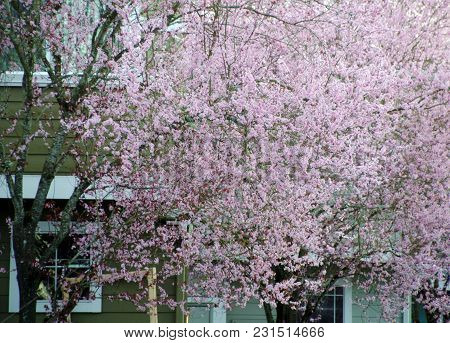 Highlighted Branch Of Blooming Cherry Tree In Seattle