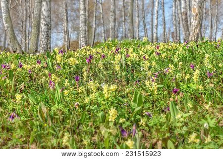 Bright Yellow And Burgundy Spring Wild Flowers Erythronium Sibiricum And Corydalis On The Meadow On