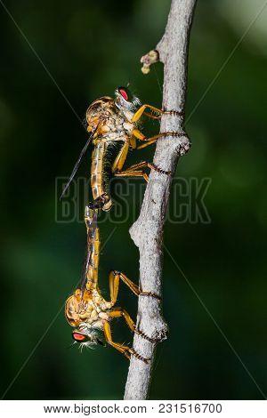 Robber Flies (asilidae) Mating