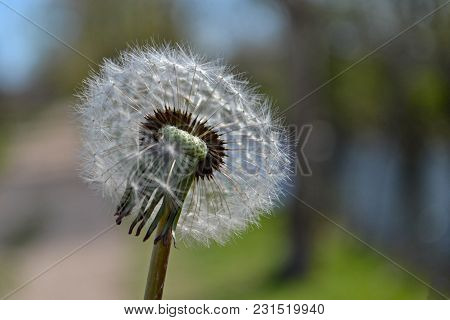 Closeup Of Fluffy Dandelion In The Park At Beautiful Sunny Day