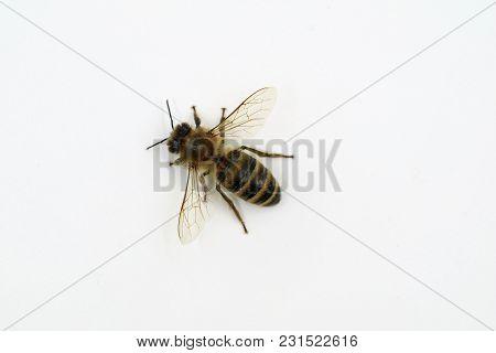 Honeybee Macro Top View Isolated On White.