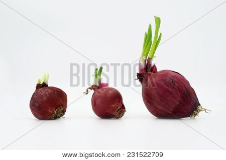 Three Red Onion Isolated On White Background.