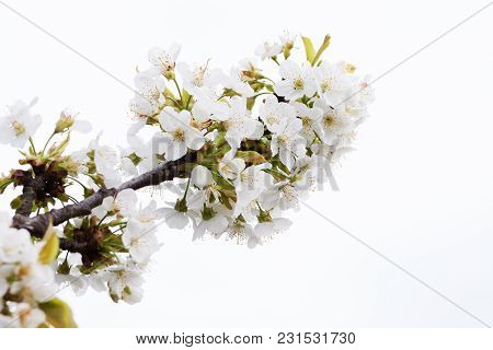 Blossoming Of Cherry Flowers Isolated On White