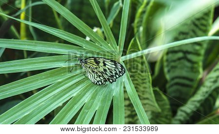 Beautiful Insect In Natural Habitat Of Green Forest. Rice Paper Or Large Tree Nymph Butterfly Paper