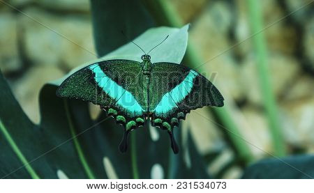 Beautiful Insect In Natural Habitat Of Green Forest. Black Butterfly With Emerald Stripes On Sheet P