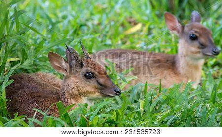 A Pair Of Dik-dik Of Kirk. A Some Of The Smallest Antelope. Selective Focus.
