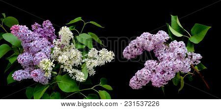 Beautiful Bouquet Of Lilacs In Different Colors On A Black Background. Horizontal Photo.