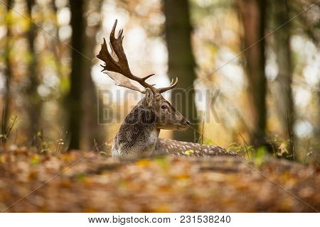 Fallow Deer Spotted Comes From The Mediterranean Region And Asia Minor. Photo Was Taken In The Czech