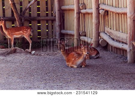 Two Sika Deer Sit On The Ground In The Zoo And Third Is Standing