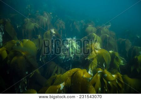 Underwater Landscape In Norway. Sea Grass. Natural Light Shot. Copy Space.