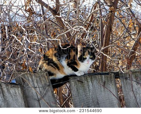 Three-colored Cat Sitting On Wooden Fence With Barbed Wire. Fat Pet Hiding Among Naked Branches And