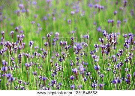 Lavender Field Closeup,beautiful Purple Flowers Of Lavender Blooming In The Garden In Spring