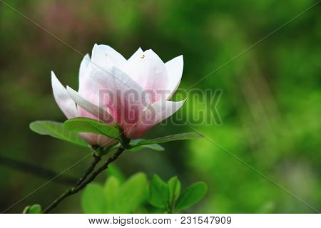 Lotus-flowered Magnolia Flower Closeup,beautiful White With Pink Flower Blooming In The Countryside