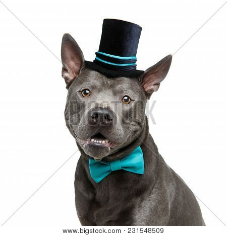 Beautiful Young Blue Thai Ridgeback Dog In Black High Hat And Blue Bow. Studio Shot Isolated On Whit