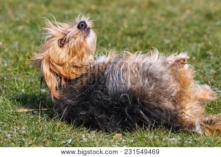 A Black And Tan Terrier Mongrel Type Dog Rolling In Grass