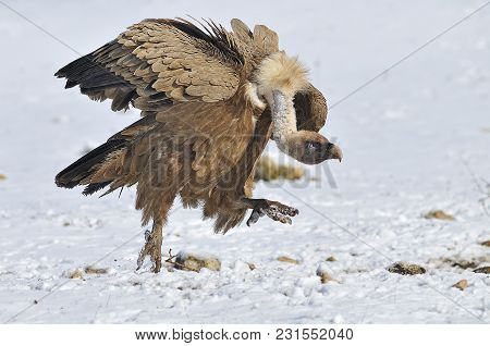 Vulture Walking On The Cold Snow In Search Of Carrion In A Very Cold Winter