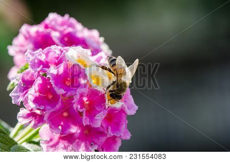 Macro Closeup Of A Ornamental Colorful Hedge Flower, Weeping Lantana, Lantana Camara Cultivated As H