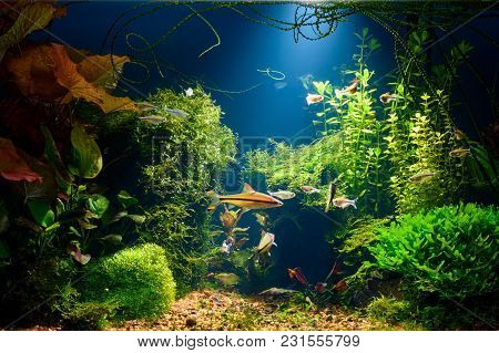 Underwater Jungle In Tropical Fresh Water Aquarium With Live Dense Red And Green Plants, Different F