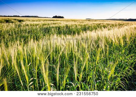 English rural landscape with barley field in Southern England UK
