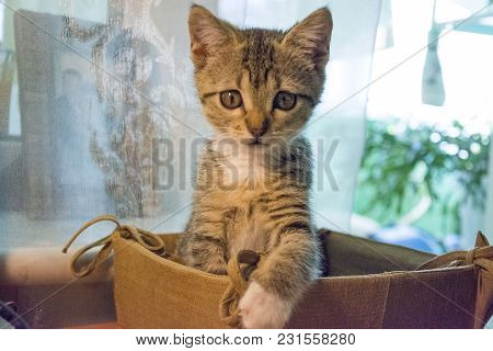 Gray Kitten Girl Sitting In A Basket, One Foot Lies In A Basket